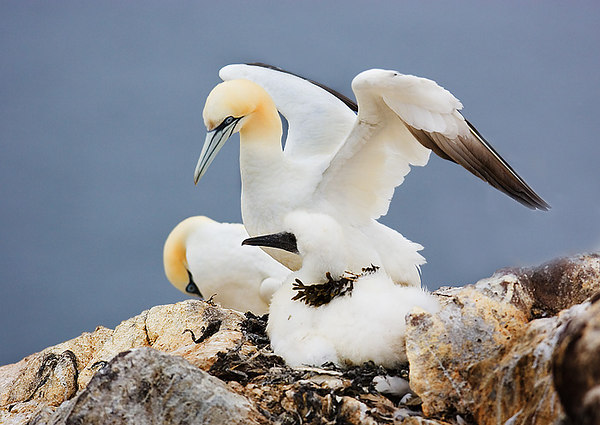 Mother and Baby Gannets. John Chapman.