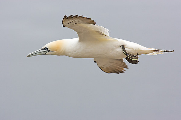 Gannet in Flight. John Chapman.