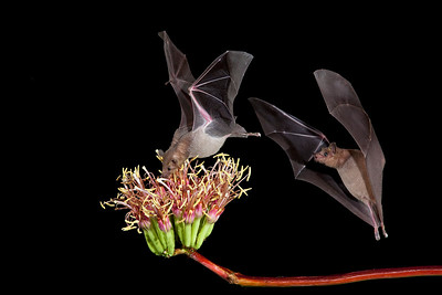 Lesser Long-nosed Bat feeding of Agave Blossom (Leptonycteris curasoae).  SE, AZ