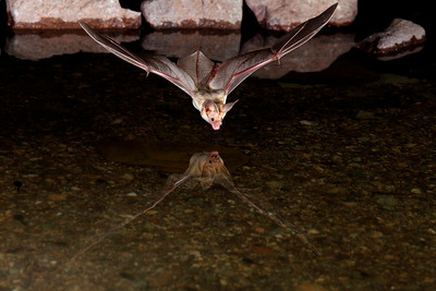 Pallid bat drinking from a pond.  Kofa National Wildlife Refuge, AZ