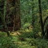 Muir Woods III - Marine, CA