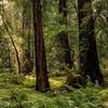 Muir Woods IV - Marine, CA