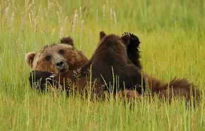 Brown Bear Sow Nursing Cub