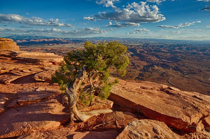 Utah Juniper at Needles Overlook