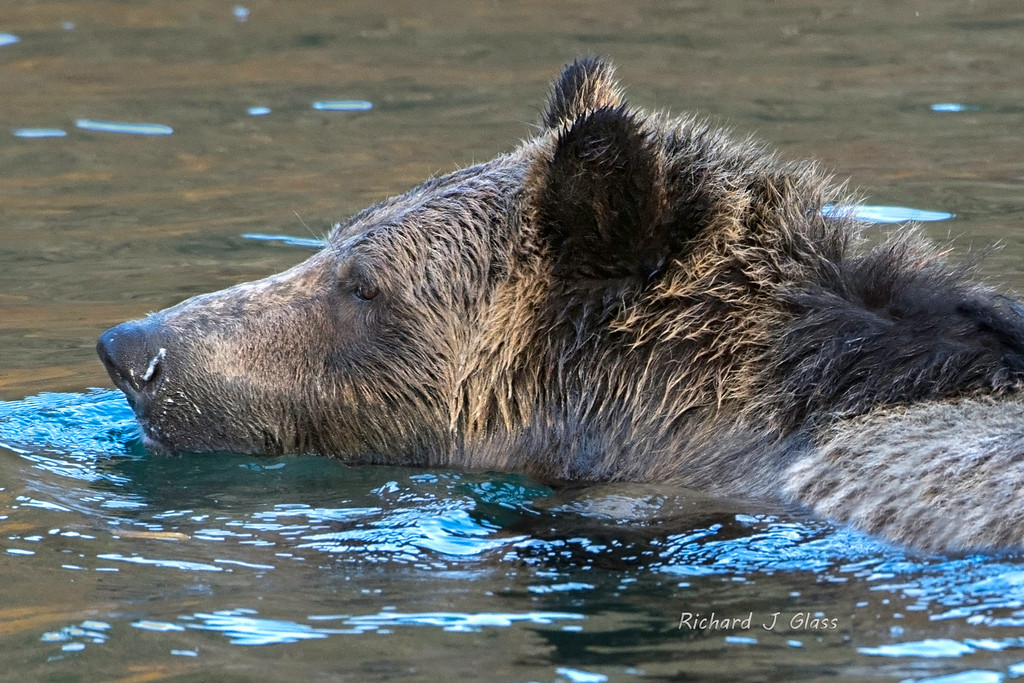 Swimming Grizzly Bear