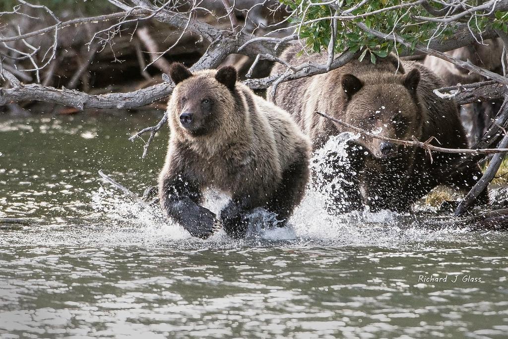 Chasing Salmon