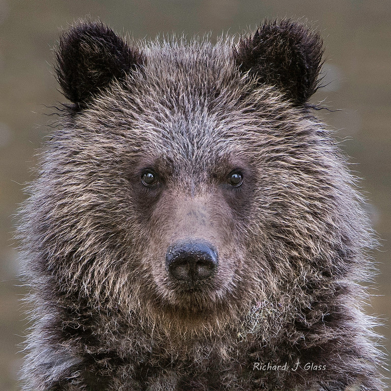 Grizzly Cub Stare Down