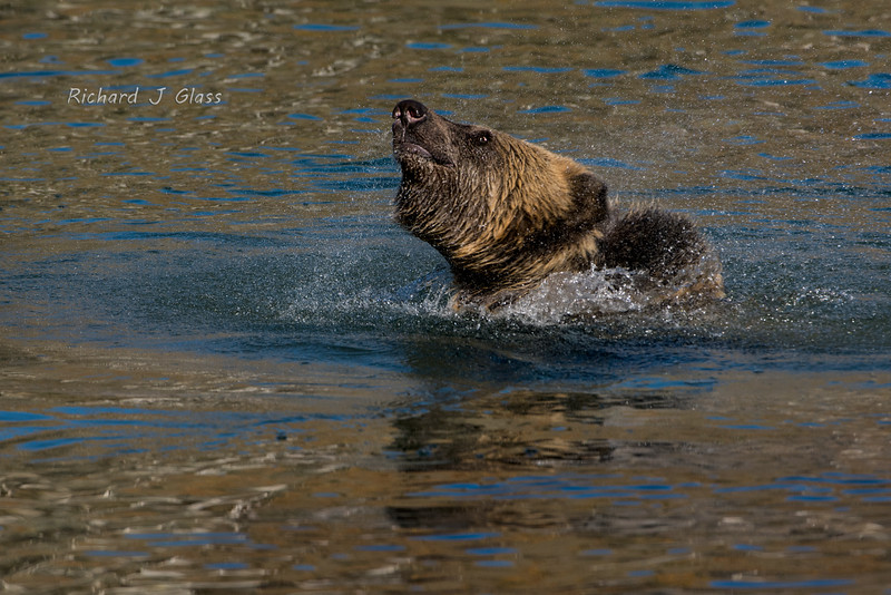 Grizzly Bear Shake