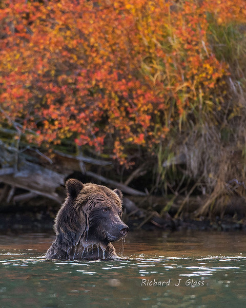 Grizzly in Fall Colors