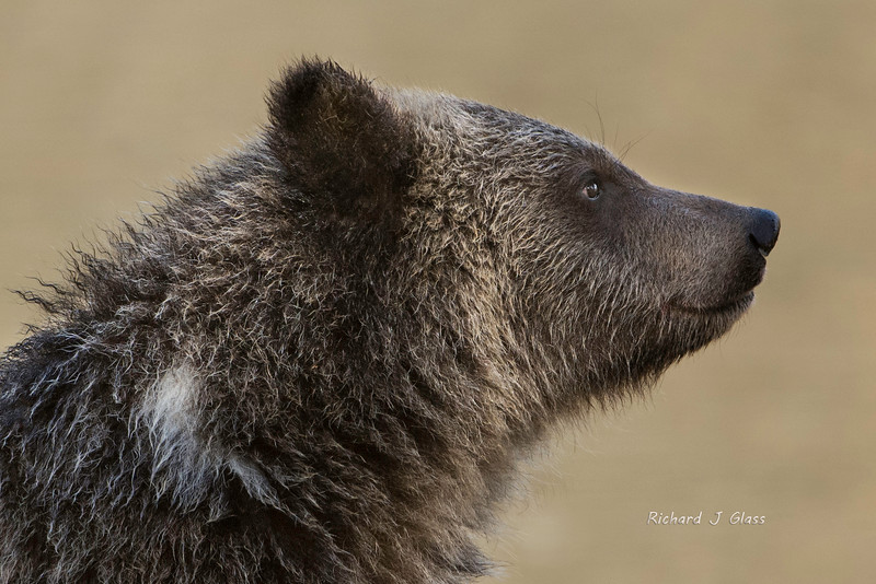 Grizzly Cub Musing