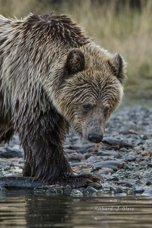 Sad Grizzly Bear