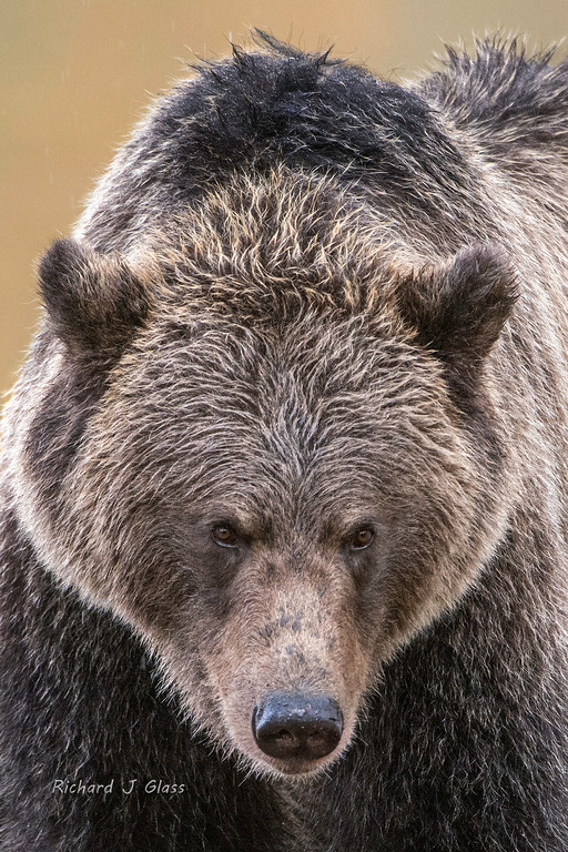Female Grizzly