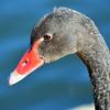 Immature Black Swan
