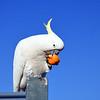 Citrus Cockatoo