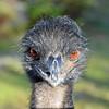 Angry Bird Emu