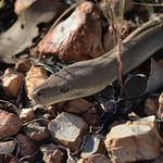 Australian Olive Python