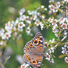Australian Meadow Argus Butterfly