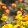 Painted Lady and Paper Daisies