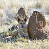 Resting Dingo