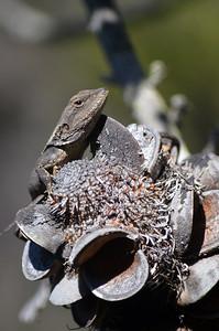 Jacky Dragon on Banksia