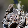 Jacky Dragon on Banksia