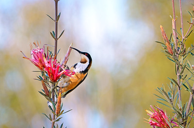 Spinebill and Mountain Devils