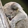 Koala Kip