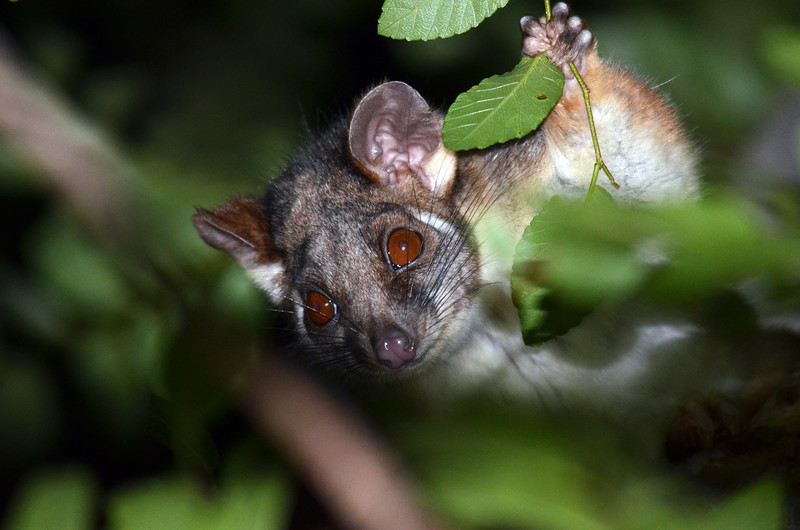 Curious Ringtail Possum
