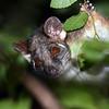Curious Ringtail Possum