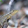 Australian native Jacky Dragon lizard II