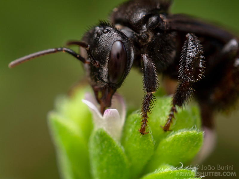 Black stingless bee visiting an oregano flower