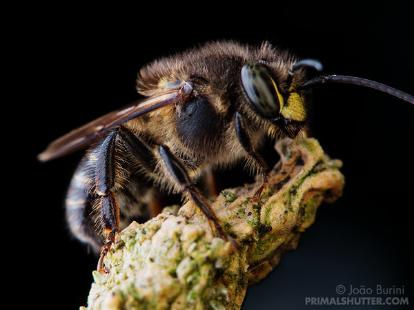 Close-up of a leaf cutting bee