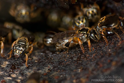 Stingless bee queen on the hive entrance