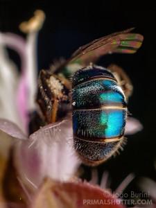 Metallic sweat bee on a flower