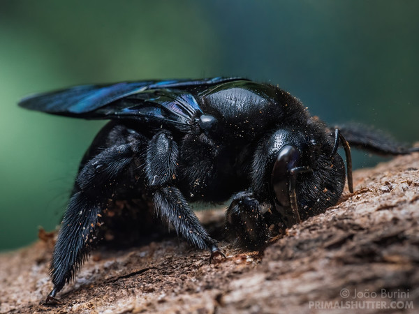 Black carpenter bee drilling a hole on wood