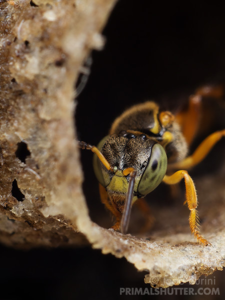 Brazilian stingless bee on it's nest entrance
