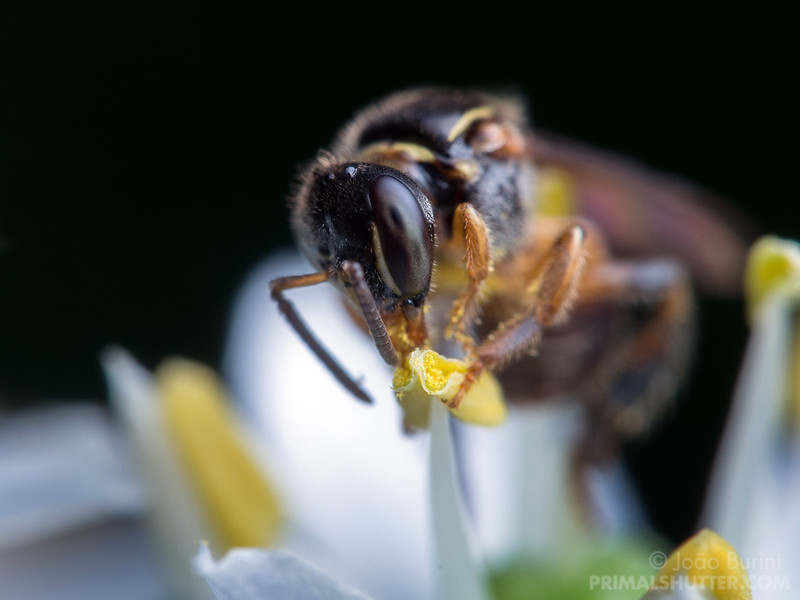 Small stingless bee visting a flower