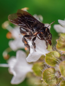 Black stingless bee with extendd proboscis