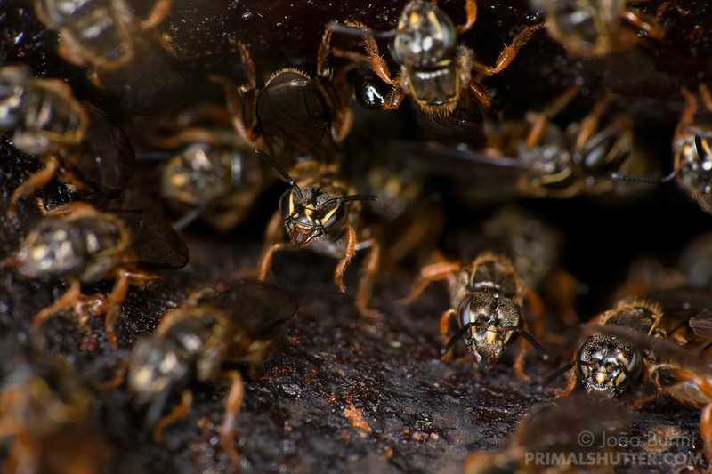Stingless bee hive on a tree trunk