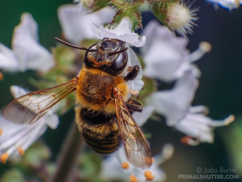 Brazilian stingless bee on a basil flower