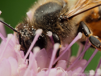 Detailed close of a honeybee covered in pollen