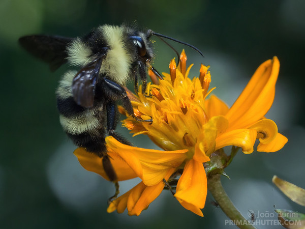 Brazilian bumble bee on a flower