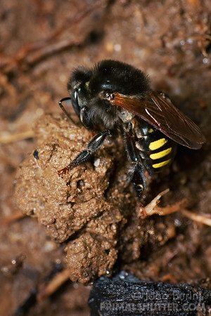 Brazilian stingless bee gathering mud