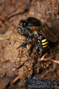 Brazilian bee gathering mud