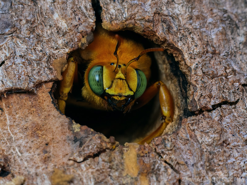 Male carpenter bee on the nest entrance