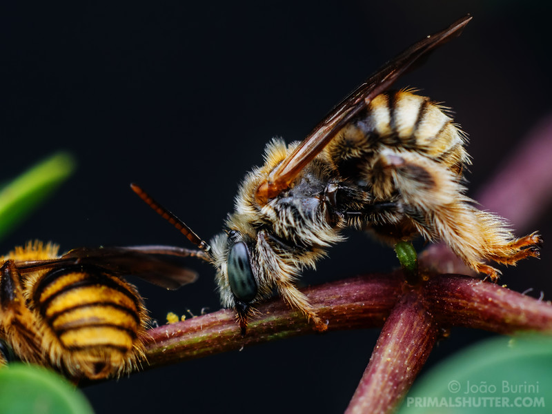 Couple of Exomalopsis bees sleeping on a plant stalk