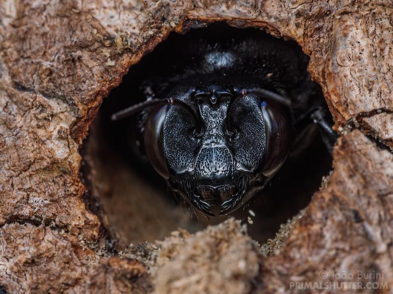 Black carpenter bee on the nest entrance