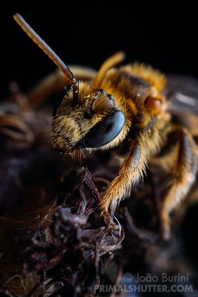 Portrait of a wild bee