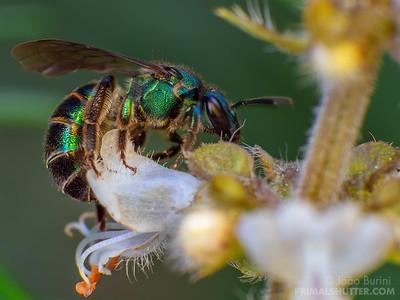 Metallic sweat bee on basil flower