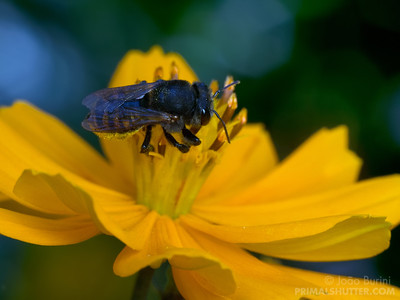 Brazilian stingless bees visiting a flower